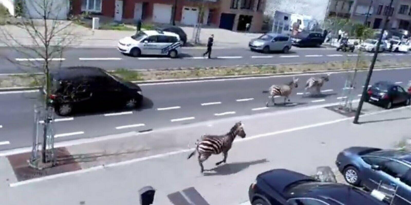 Boughton_Zebras in Belgium